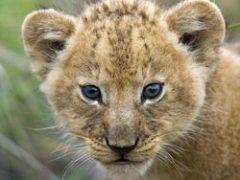 У любви нет границ (видео про льва и его спасителей)