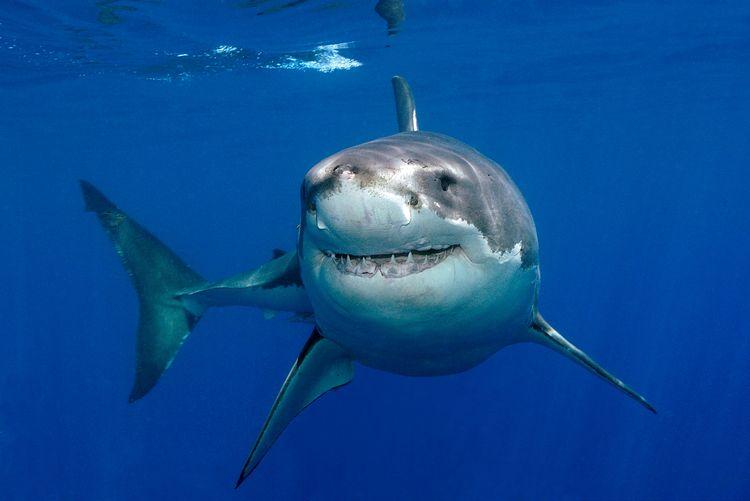 Как акула помогла сохранить спрос на рыбу