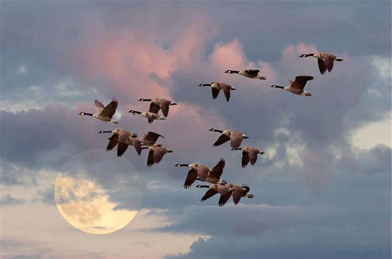 Почему птицы летают клином. Параллели с человеком