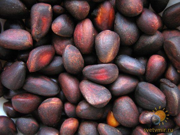 Как вырастить кедр из орешка