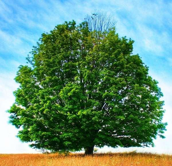 Дерево. Практическое руководство (главы из книги с описанием пород деревьев) - Федотов Г.
