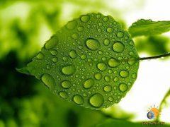 Листья и почки берёзы. Применение. Лекарственные чаи. Отвары
