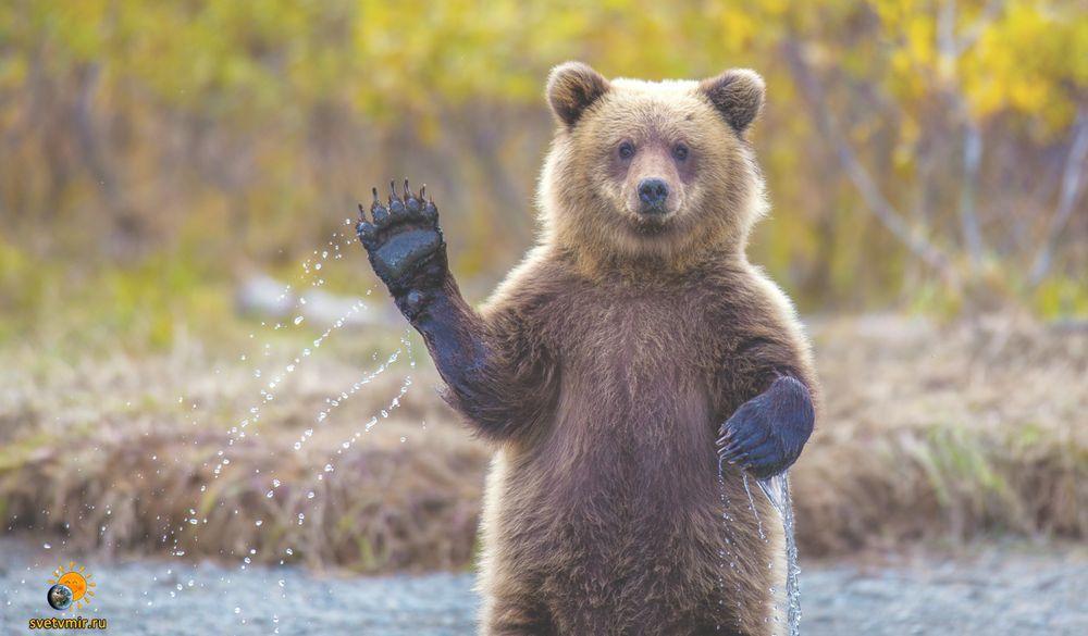 Бурый медведь — Википедия