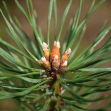 Мёд из сосновых почек и способ приготовления эликсира здоровья из почек сосны