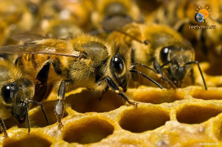 Пчёлы разговаривают?..