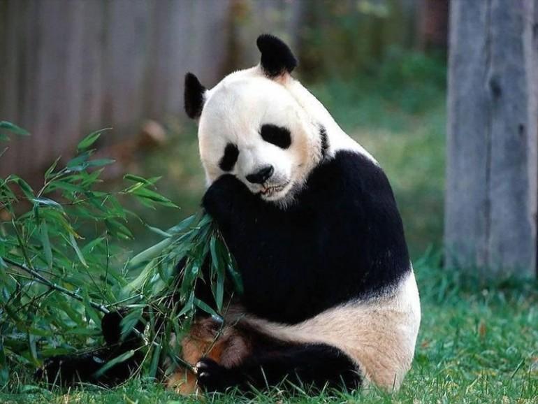 Панда-ест-бамбук
