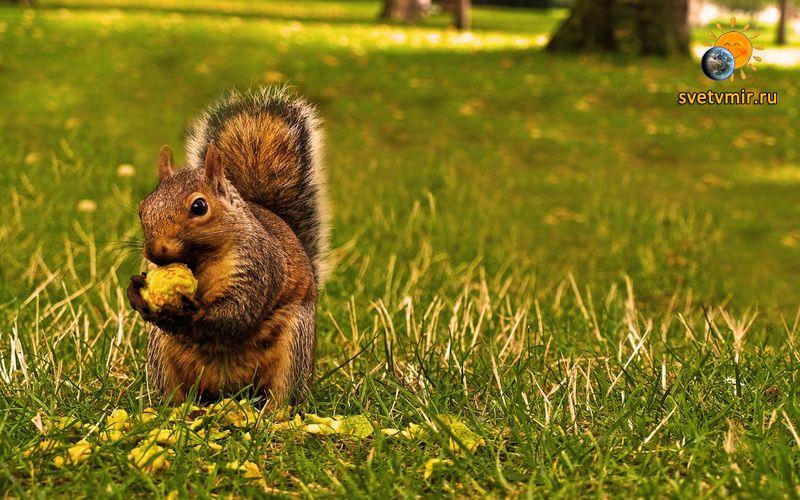 squirrel animal eating on the grass wallpaper - СветВМир.ру - Интересный познавательный журнал. Развитие познания - Почему все болеют?