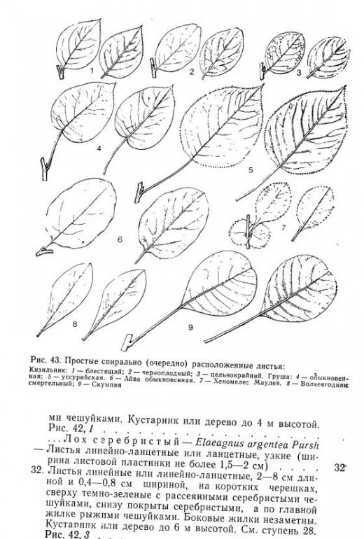 Определитель деревьев и кустарников, 1985 - Чепик Ф.А., скачать