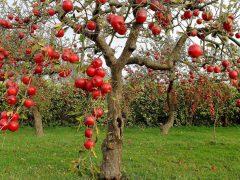 Как вырастить яблоневый сад своими руками