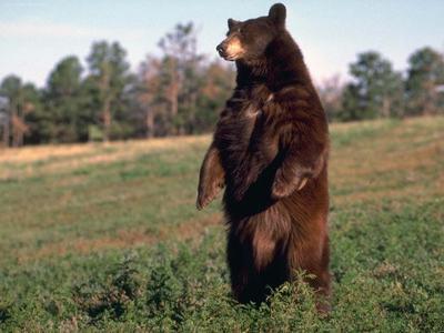 Медвежьи покачивания