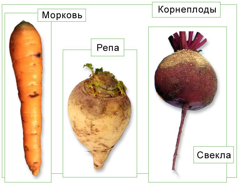 Выращивание корнеплодов в природном земледелии