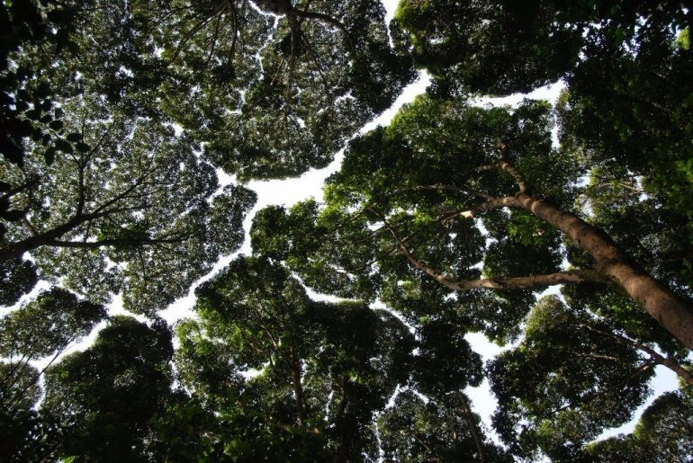 """""""Застенчивость кроны"""" у деревьев. Что это такое?"""