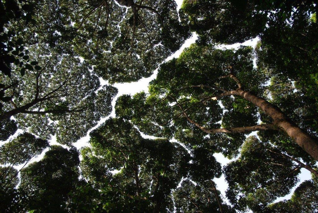 """K2tHMb7Y3l0 - СветВМир.ру - Интересный познавательный журнал. Развитие познания - """"Застенчивость кроны"""" у деревьев. Что это такое?"""