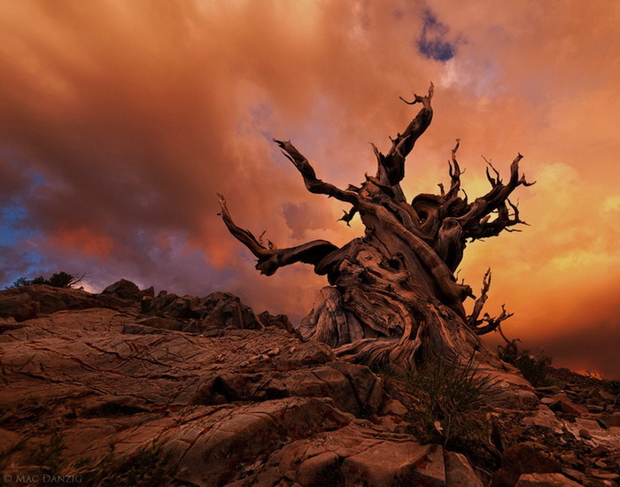 ancient-bristlecone-7