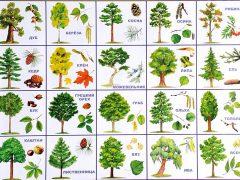 Названия деревьев и их внешние отличия, картинка