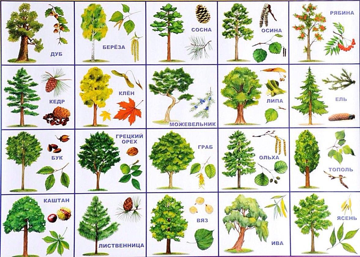 7MkQelNM8rc - СветВМир.ру - Интересный познавательный журнал. Развитие познания - Названия деревьев и их внешние отличия, картинка