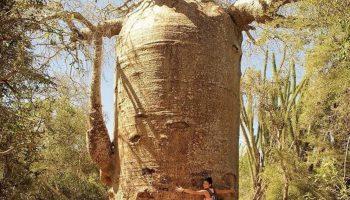 1619752029143726211 png - СветВМир.ру - Интересный познавательный журнал. Развитие познания - Три самых необычных дерева планеты